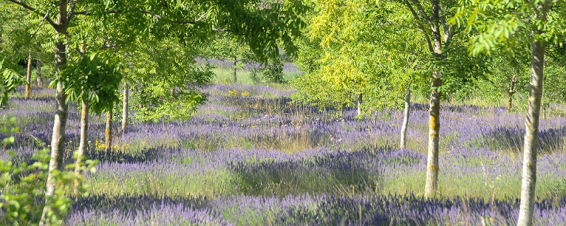 Carrwood Park - lavender meadow